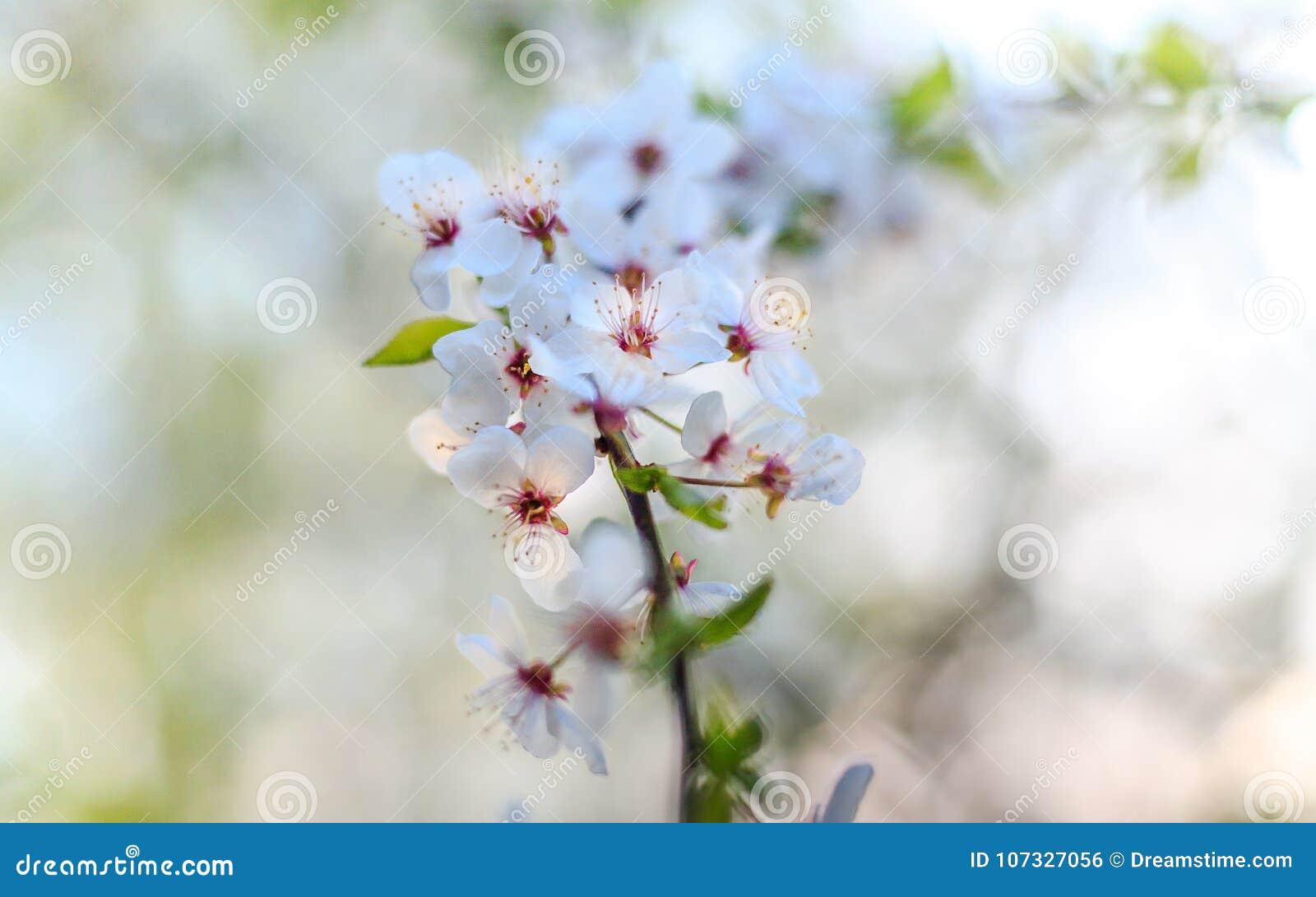 Único ramo de árvore de florescência da maçã