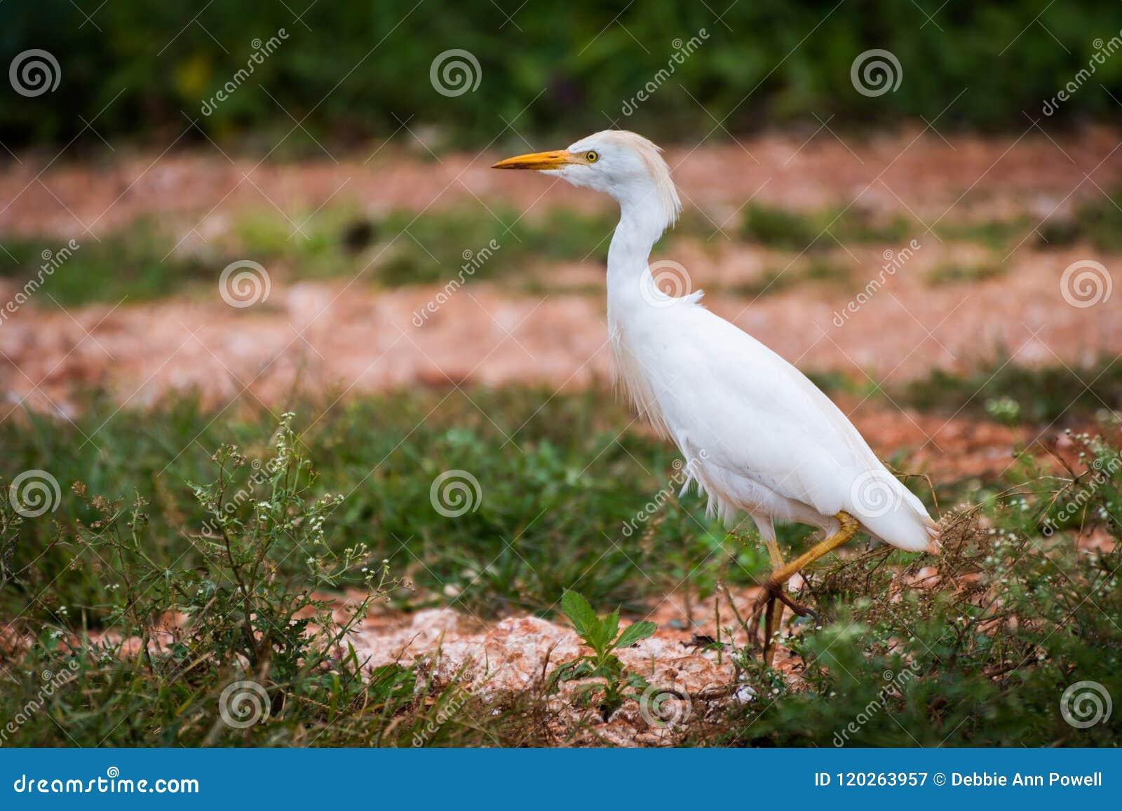 Único suportar do Egret de gado