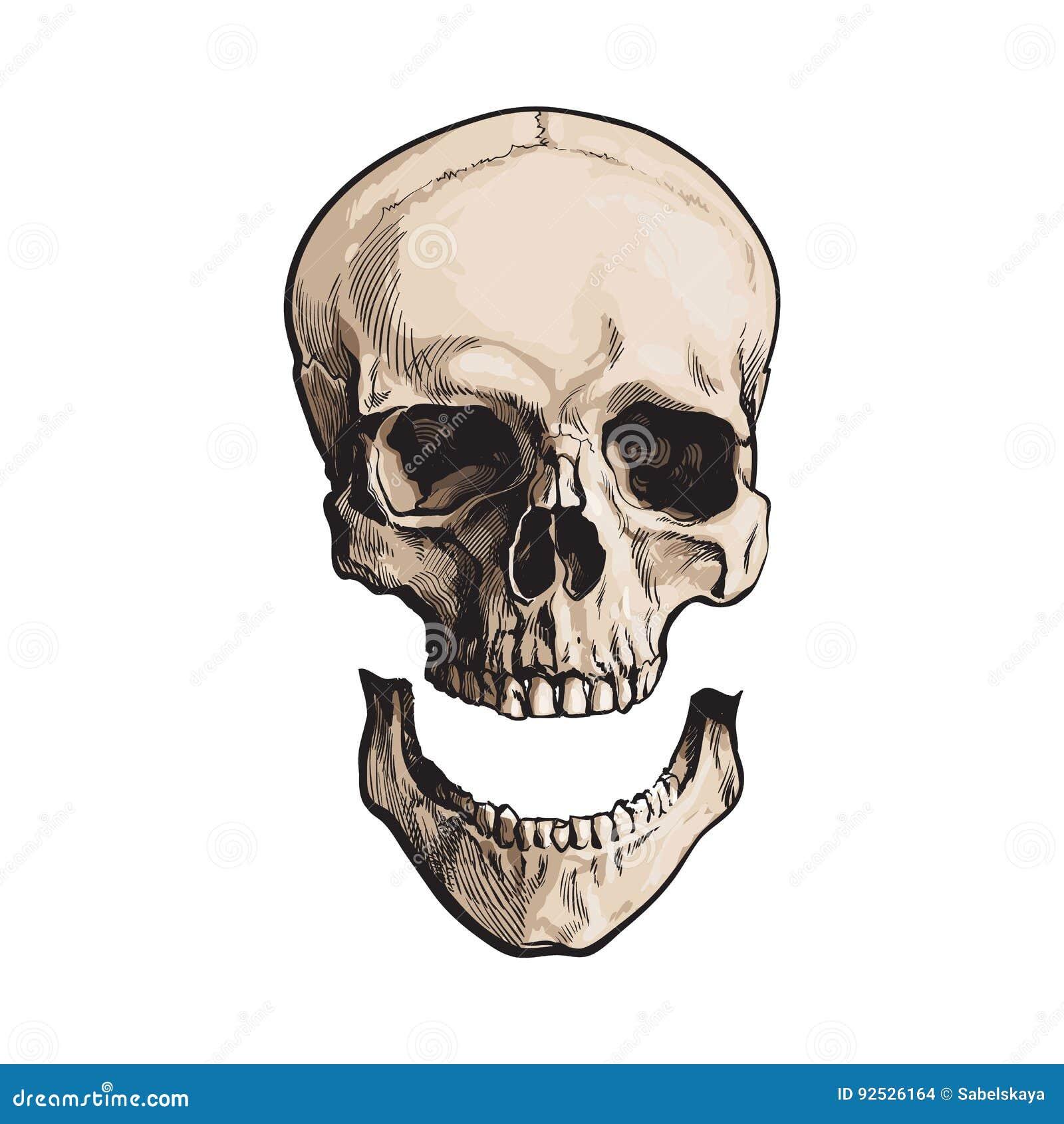 Übergeben Sie Gezogenen Anatomischen Menschlichen Schädel Mit ...