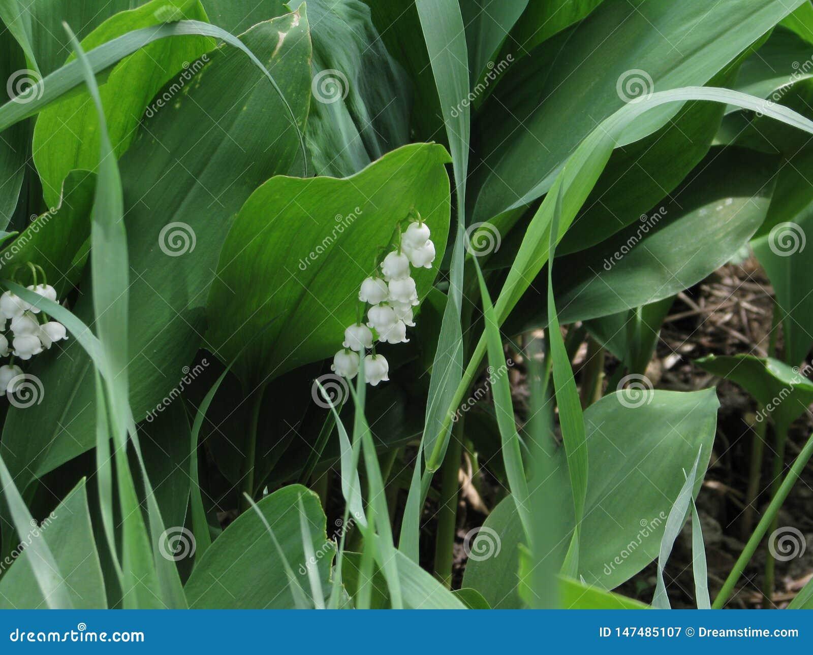 Überraschende Schönheit dieser Blume - Maiglöckchen