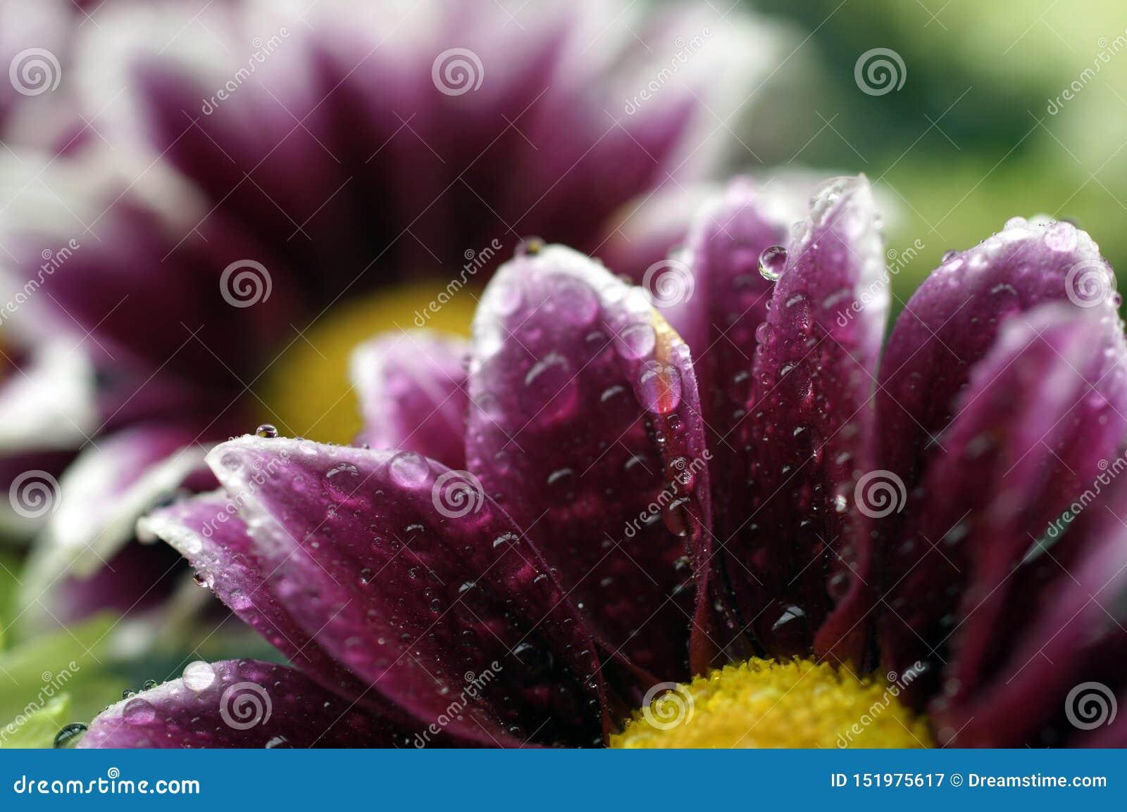 Überraschender Makroschuß einer nass Blume