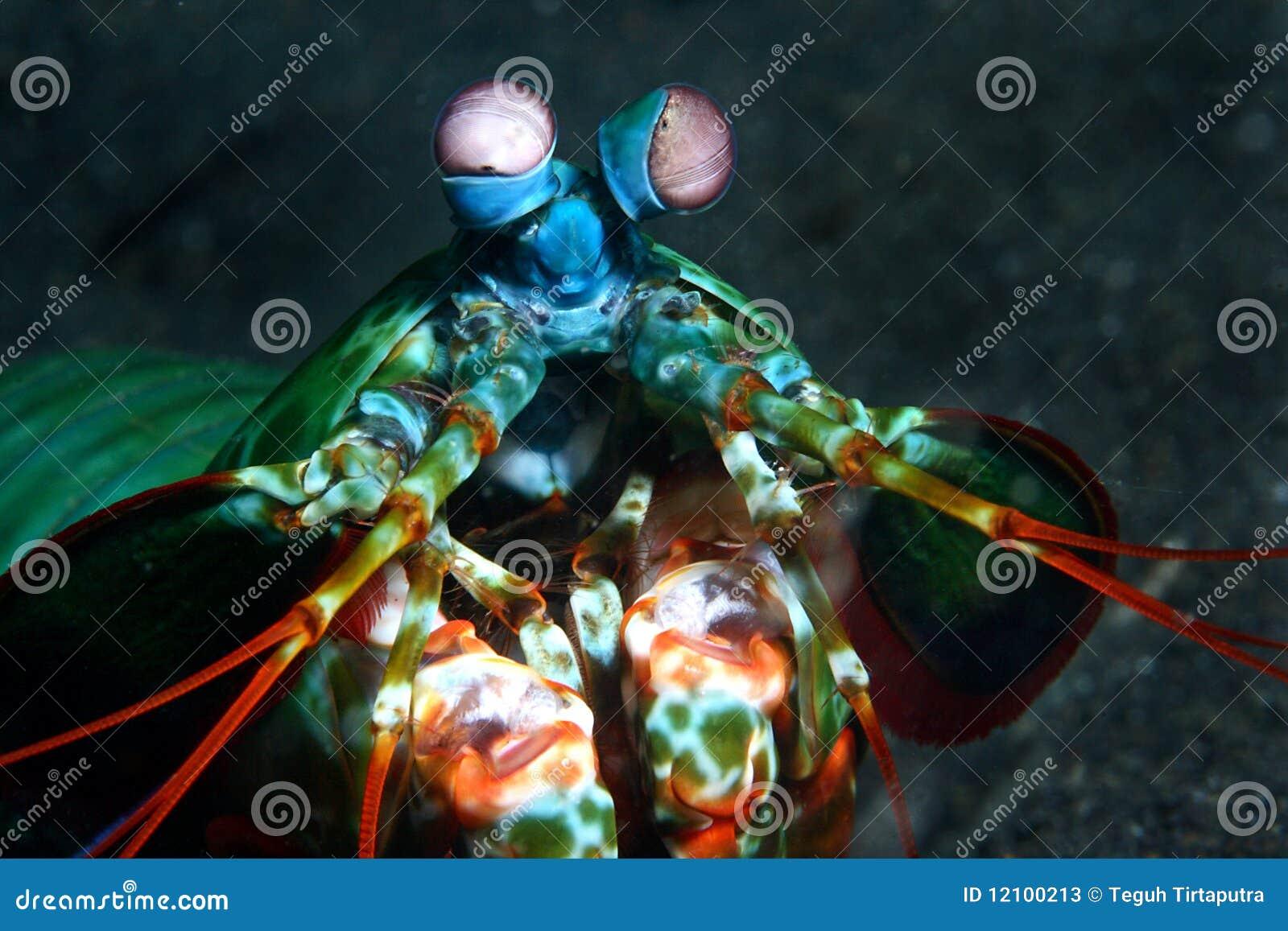 Überwältigende Mantisgarnele