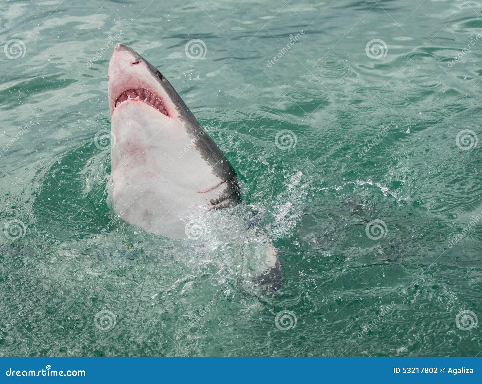 Überwasseroberfläche des Weißen Hais