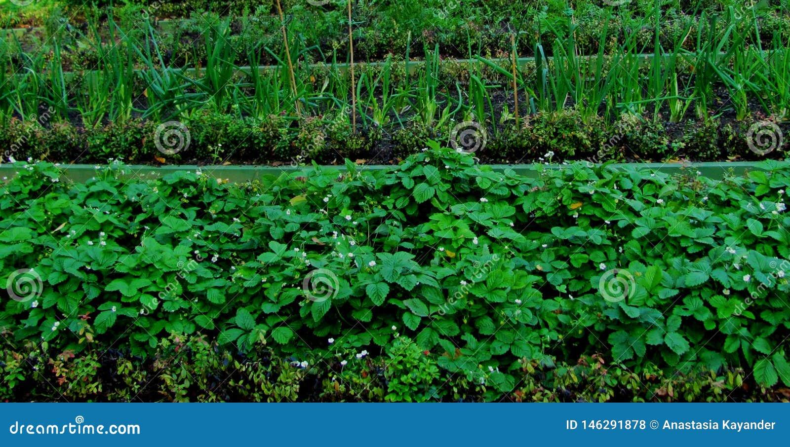 Łóżka truskawki, jagody i cebule, ogrodowy sezon