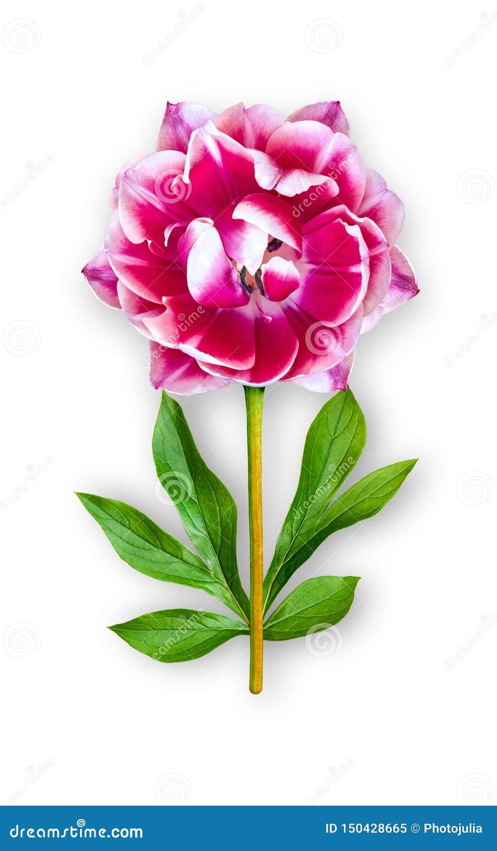 Łączący niezwykły tulipanowy kwiat Jaskrawy różowy tulipan z peonia liśćmi Sztuka przedmiot na bia?ym tle