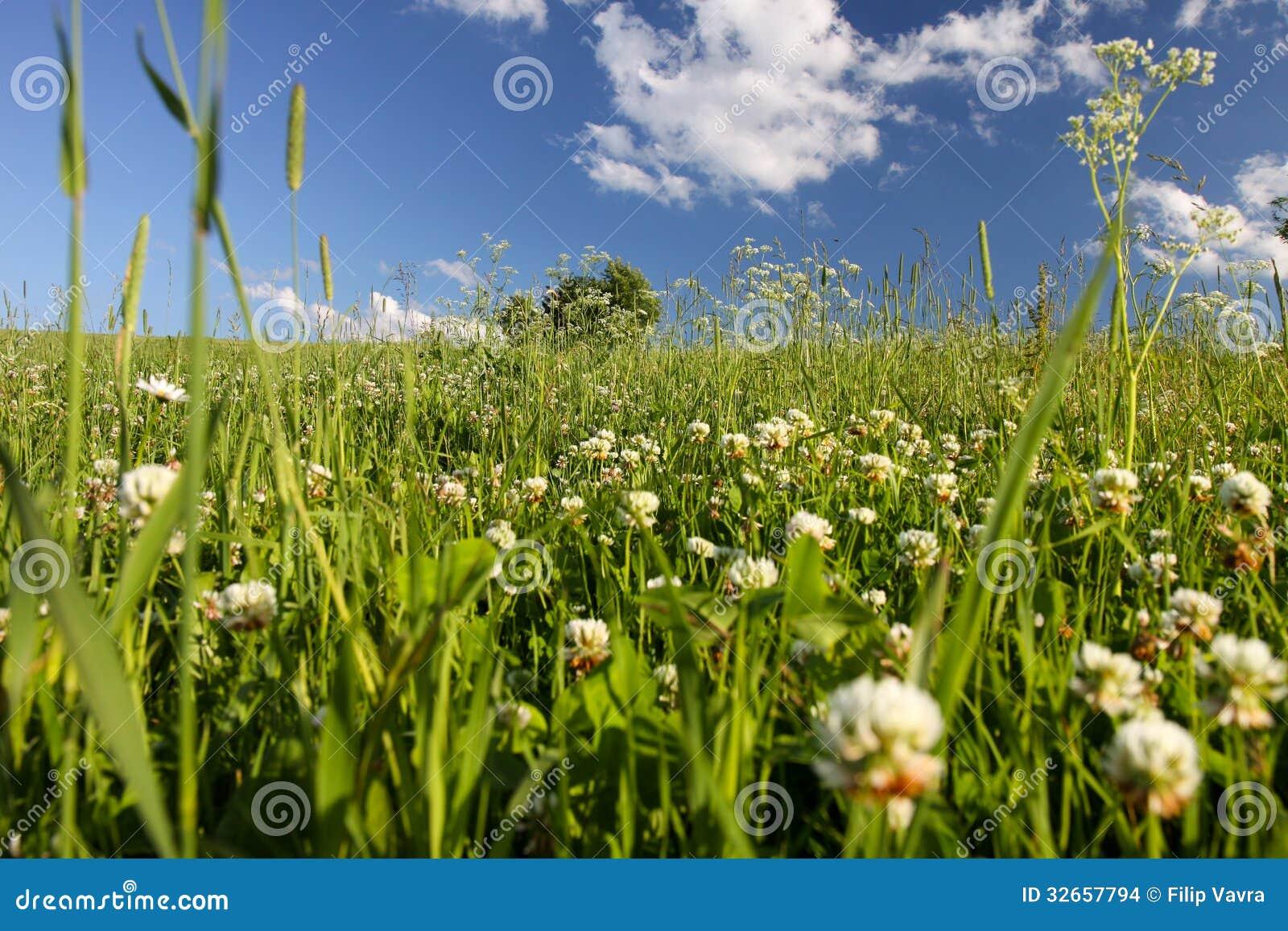 Łąka koniczyna
