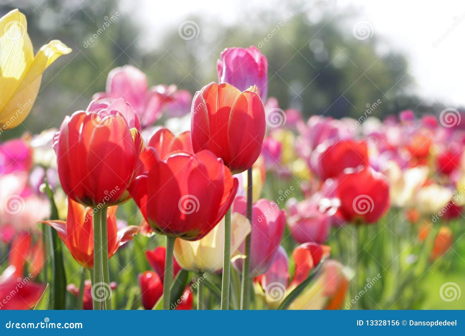 łąkowi tulipany