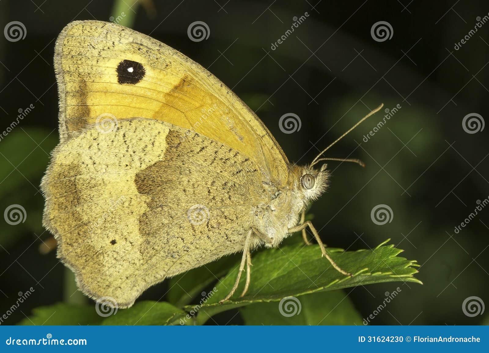 Łąkowy brown motyl kobieta, Maniola jurtina,/