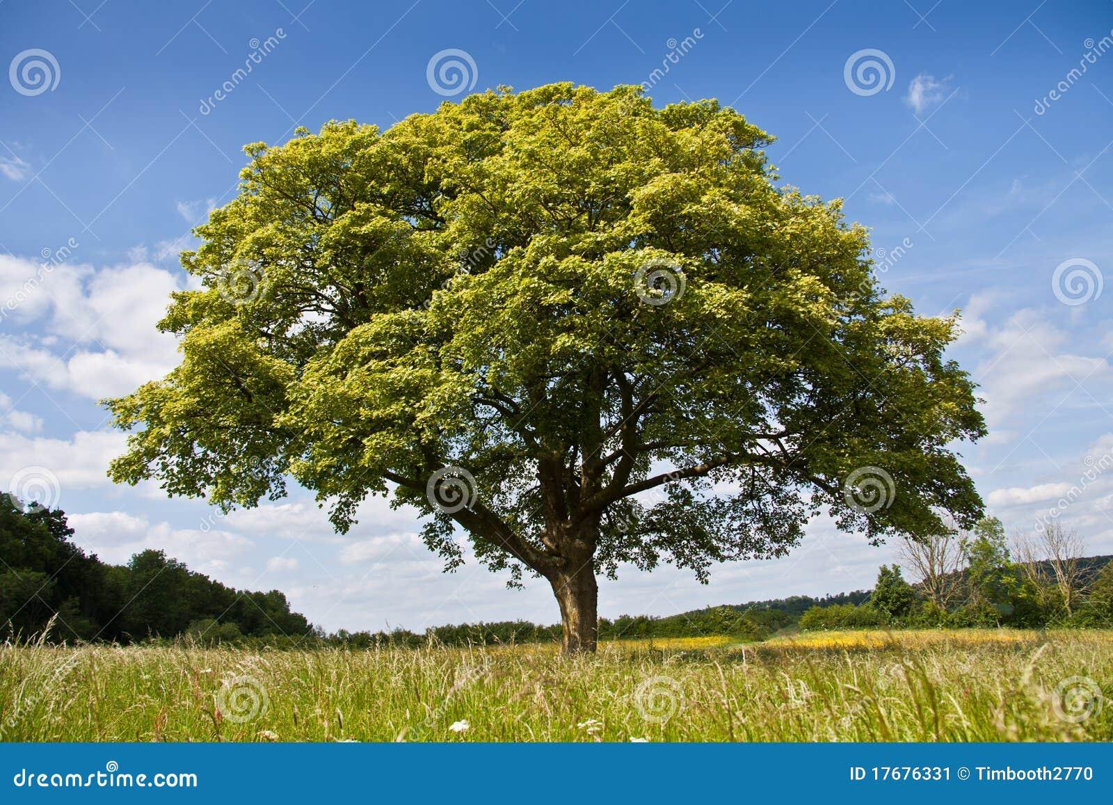 łąkowy drzewo