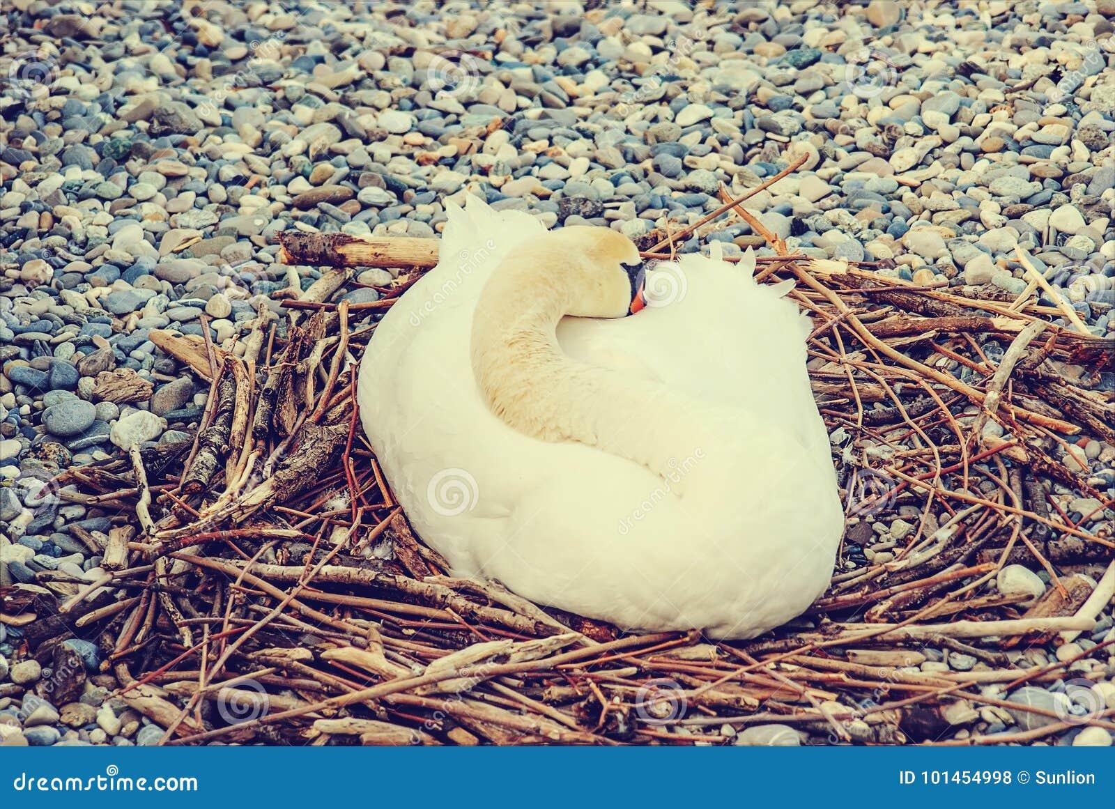 Łabędź kluje się jajka w gniazdeczku