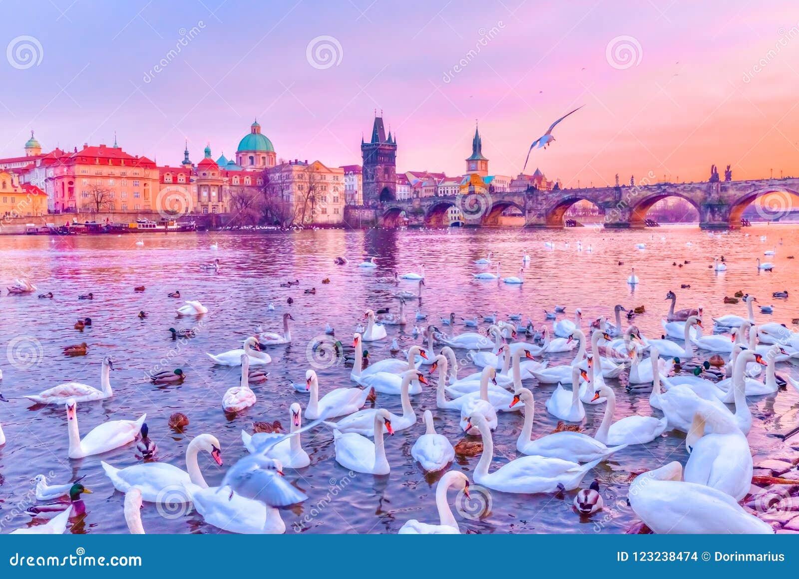 Łabędź na Vltava rzece i Charles moscie Praga, górują przy zmierzchem, republika czech