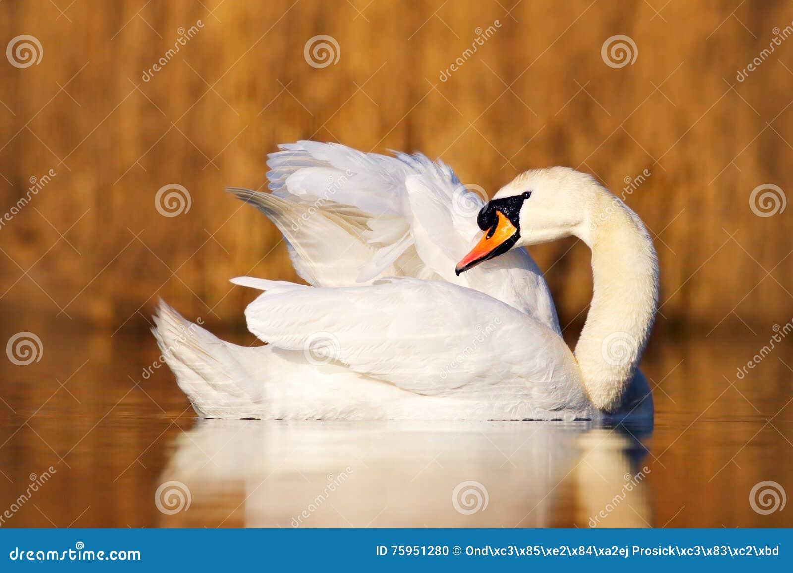 Łabędź w natury siedlisku niemy łabędź, Cygnus olor, cleanig upierzenie w wodzie Ptak na jeziorze Brwi trawa w tle