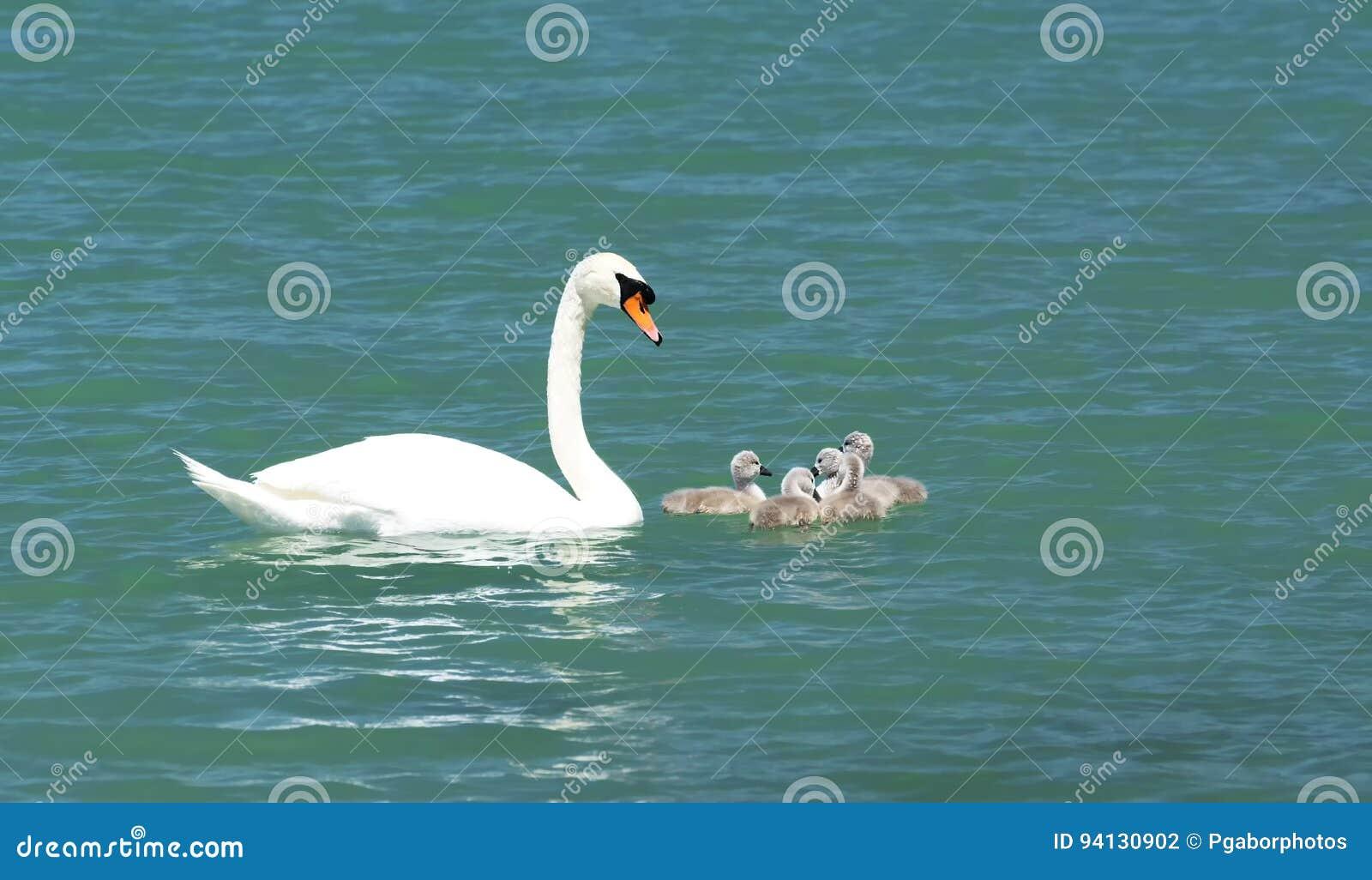 Łabędzia rodzina przy Jeziornym Balaton