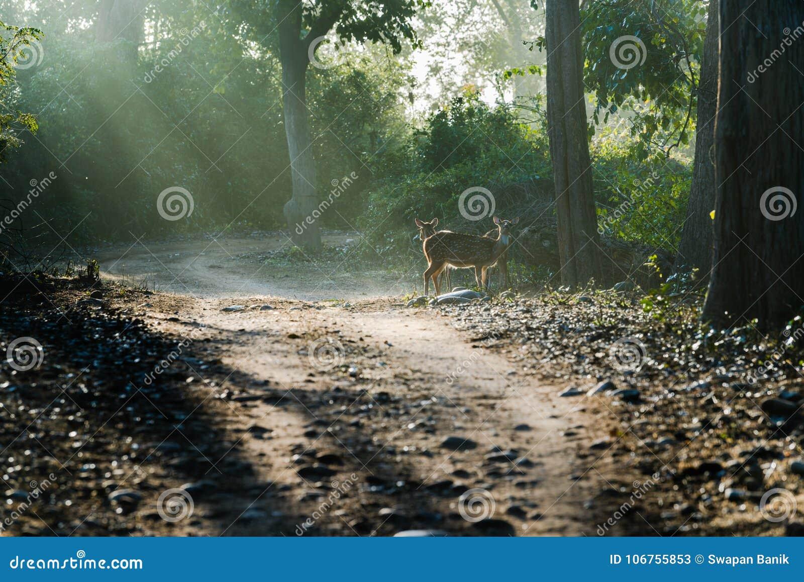 Łaciaści Deers pod słońce promieniami