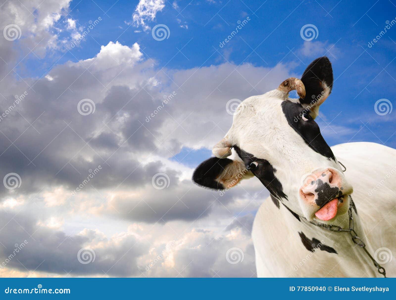Łaciasta czarny i biały krowa na tle niebo z chmurami Śmieszna czarny i biały krowa i dramatyczny niebieskie niebo