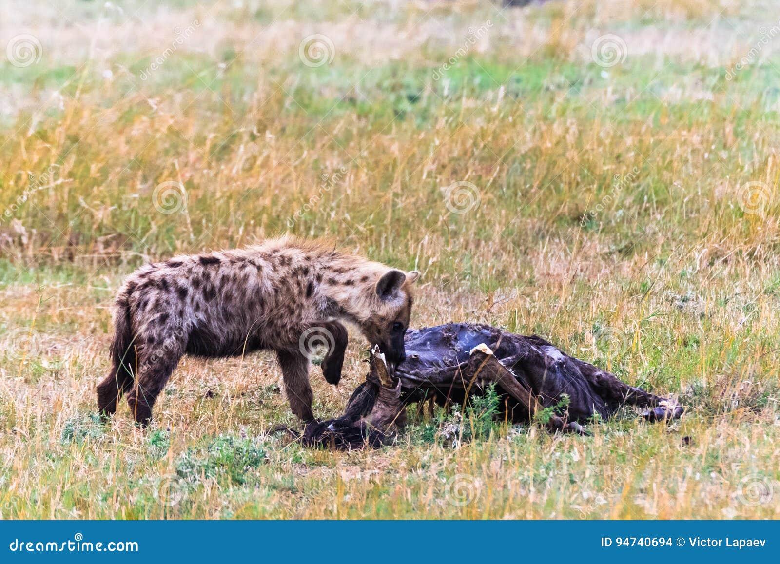 Łaciasta hiena w sawannie z zdobyczem mara masajów
