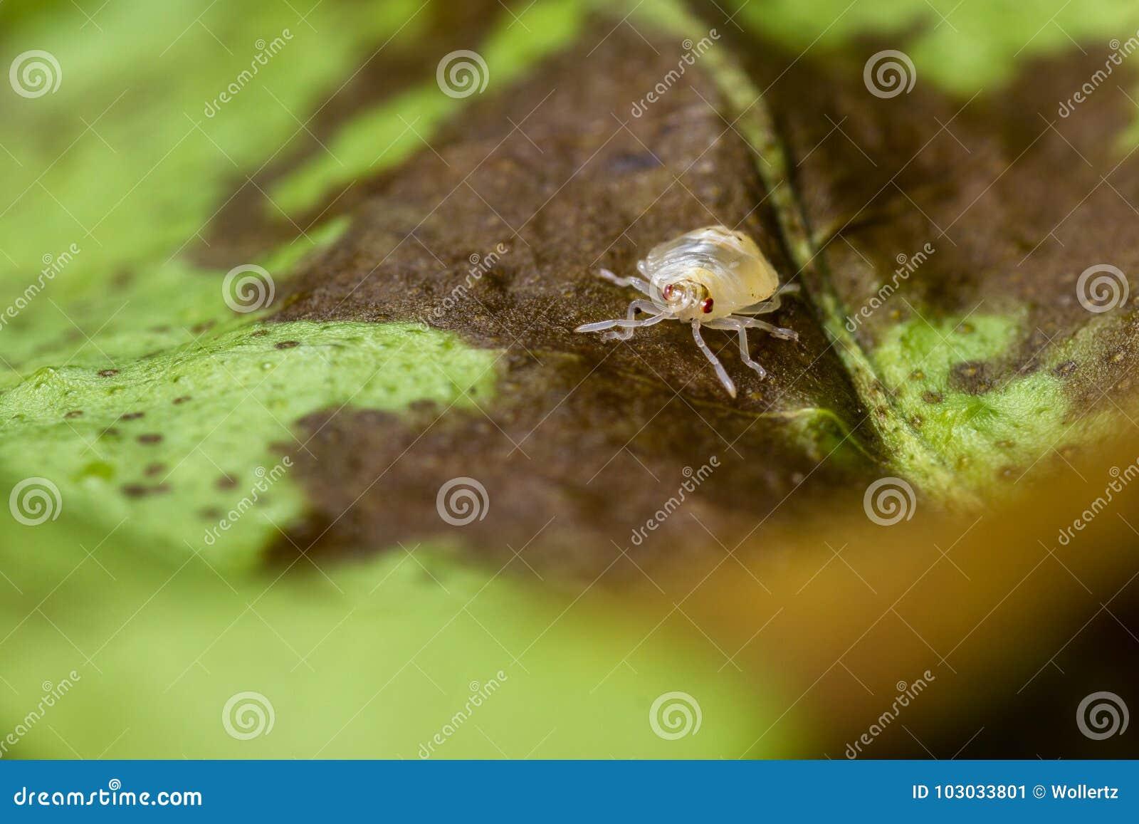 Łaciasta pająk lądzieniec