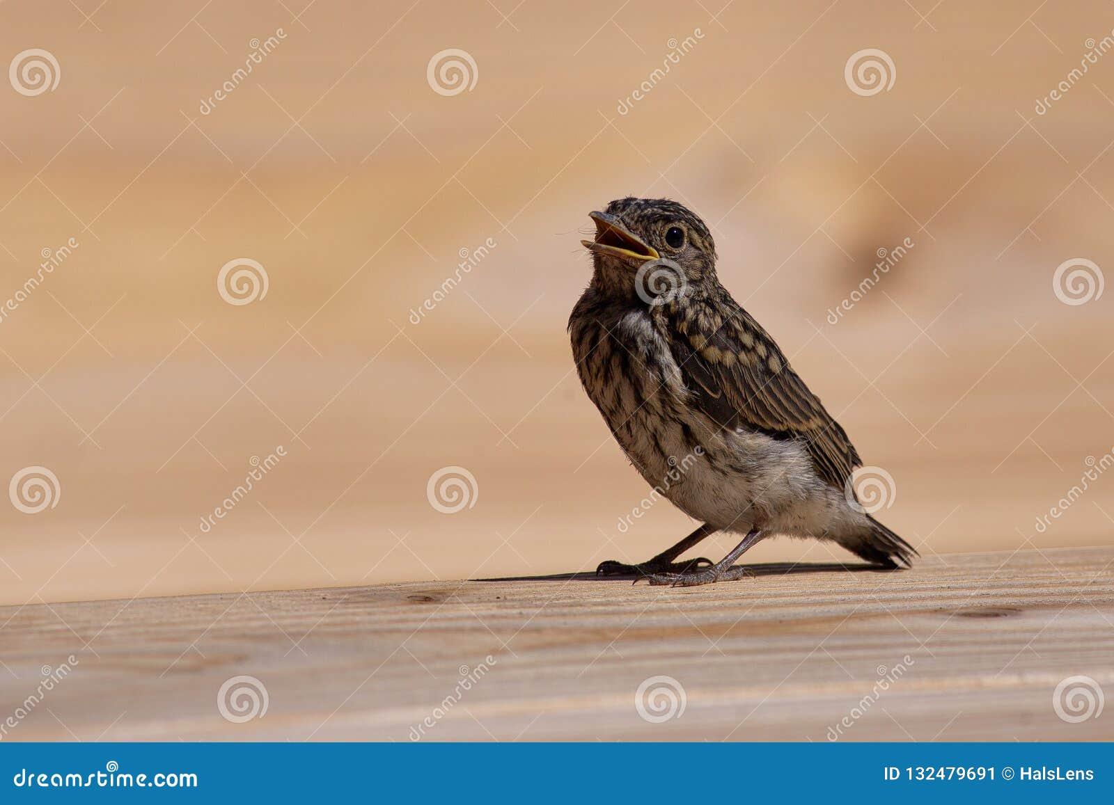 Łaciasty flycatcher kurczątko