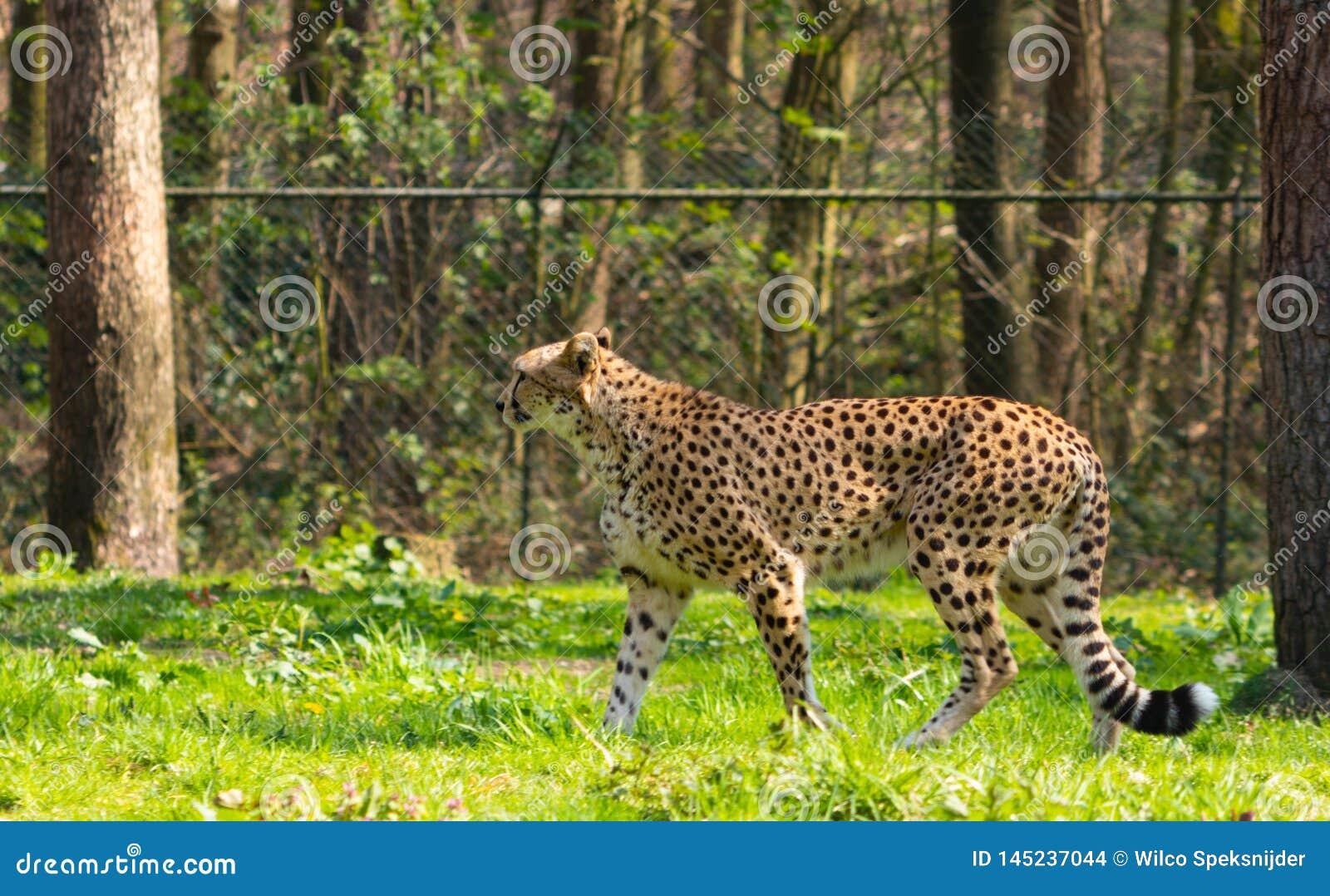 Łaciasty gepard w zoo