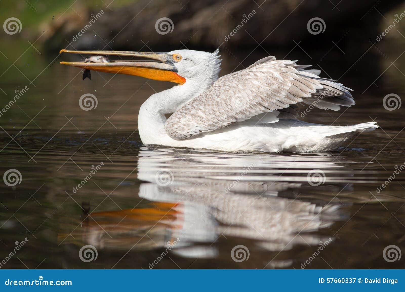 Łaciasty rachunku pelikan z ryba w swój belfrze