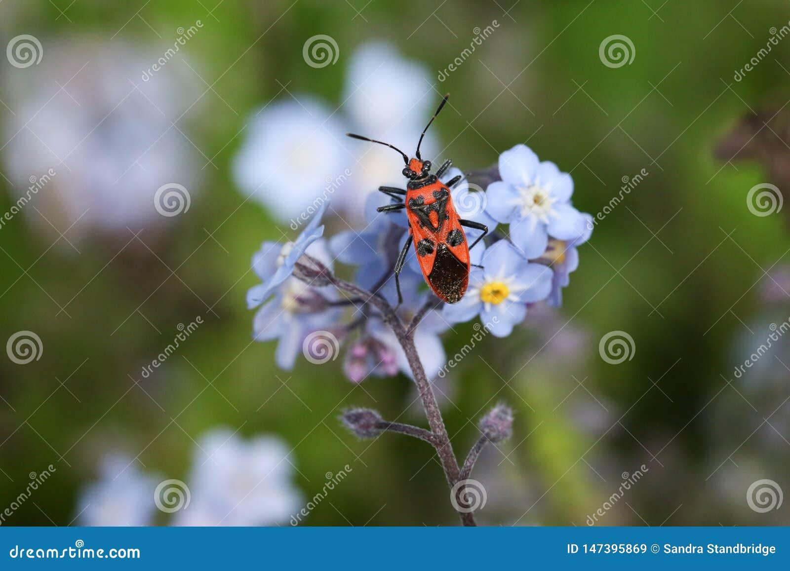 Ładna Cynamonowa pluskwa, Corizus hyoscyami, umieszcza na niezapominajkowych kwiaty