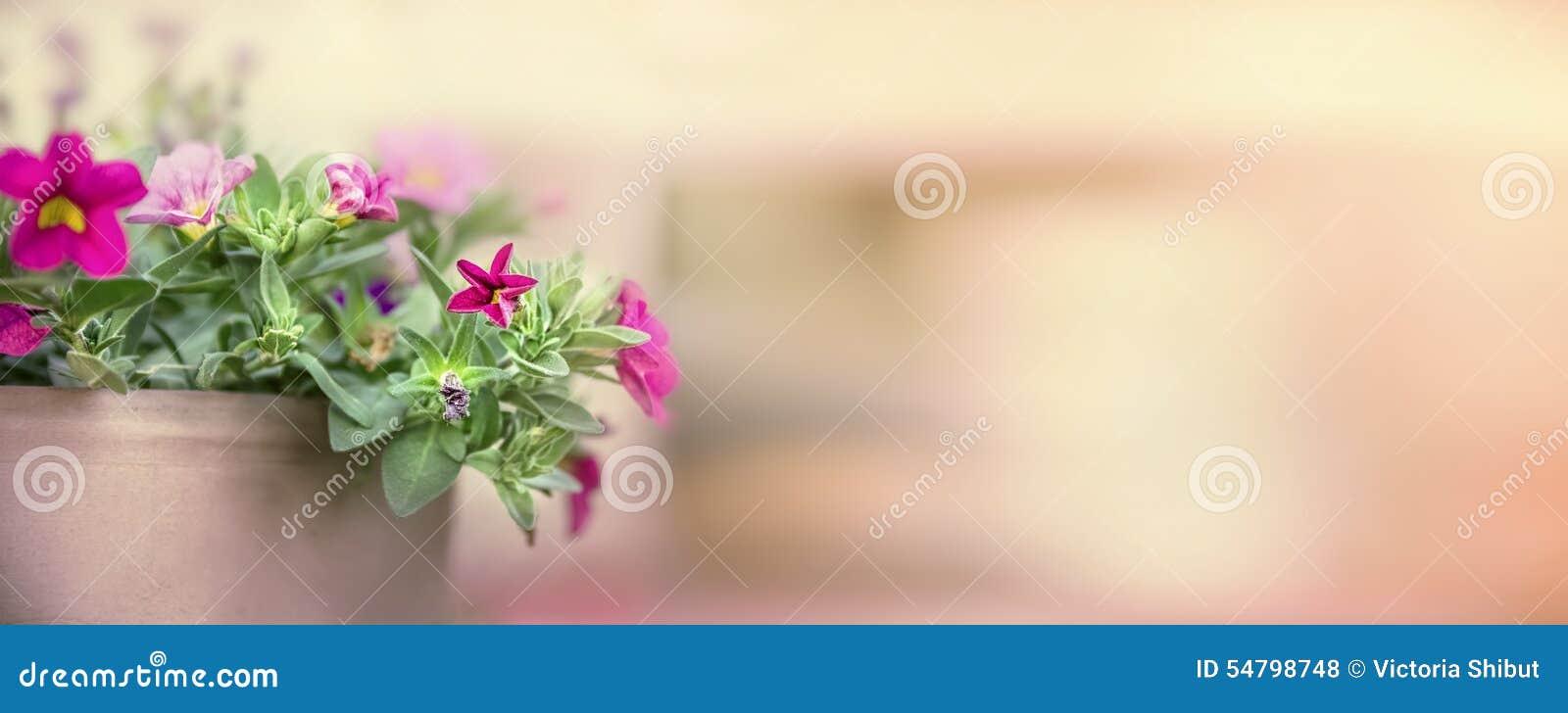Ładna petunia w kwiatu garnku na zamazanym natury tle, sztandar dla strony internetowej