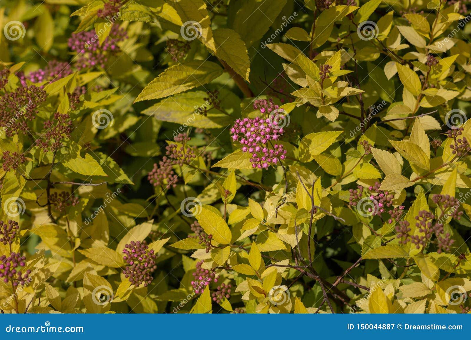 Ładna purpura kwitnie na tle żółty ulistnienie z bliska