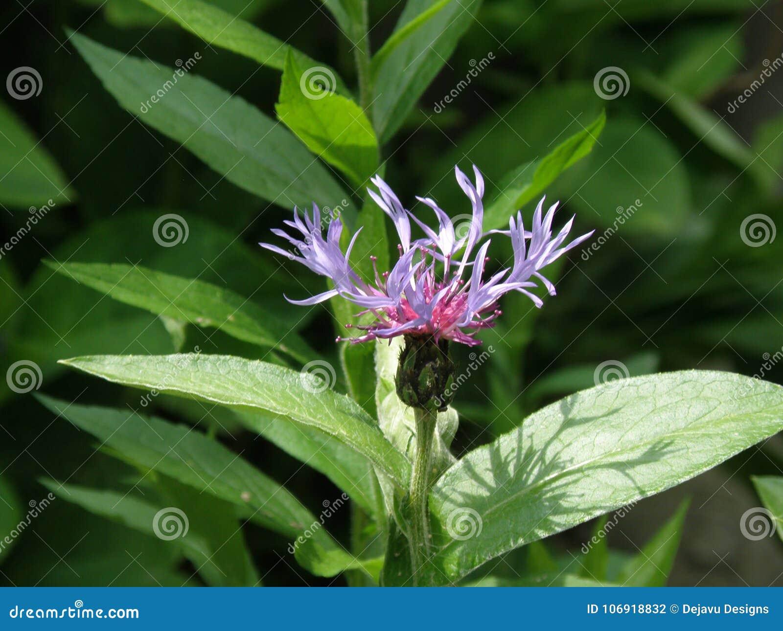 Ładny Kwitnący kawalera guzika kwiecenie w ogródzie