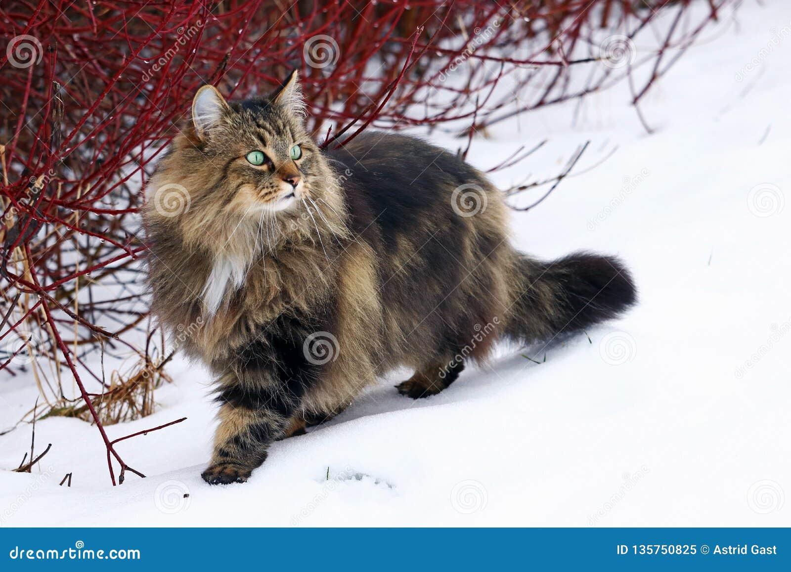 Ładny młody Norweski Lasowy kota polowanie w śniegu