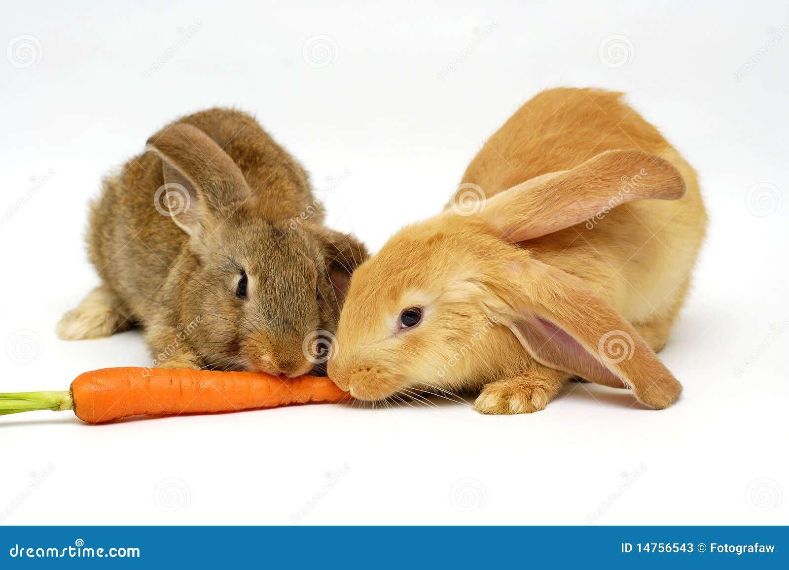 łasowanie królik