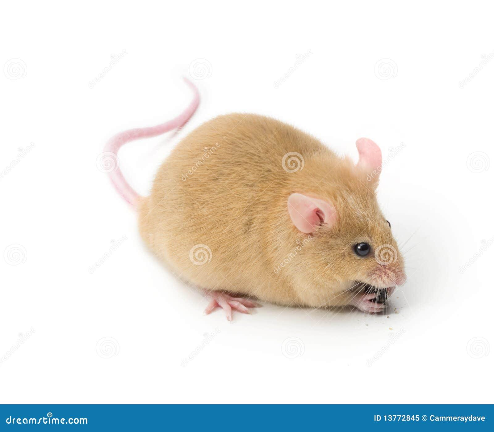 łasowanie mysz