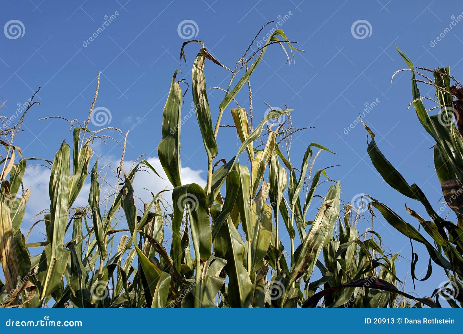 łodygi kukurydzy