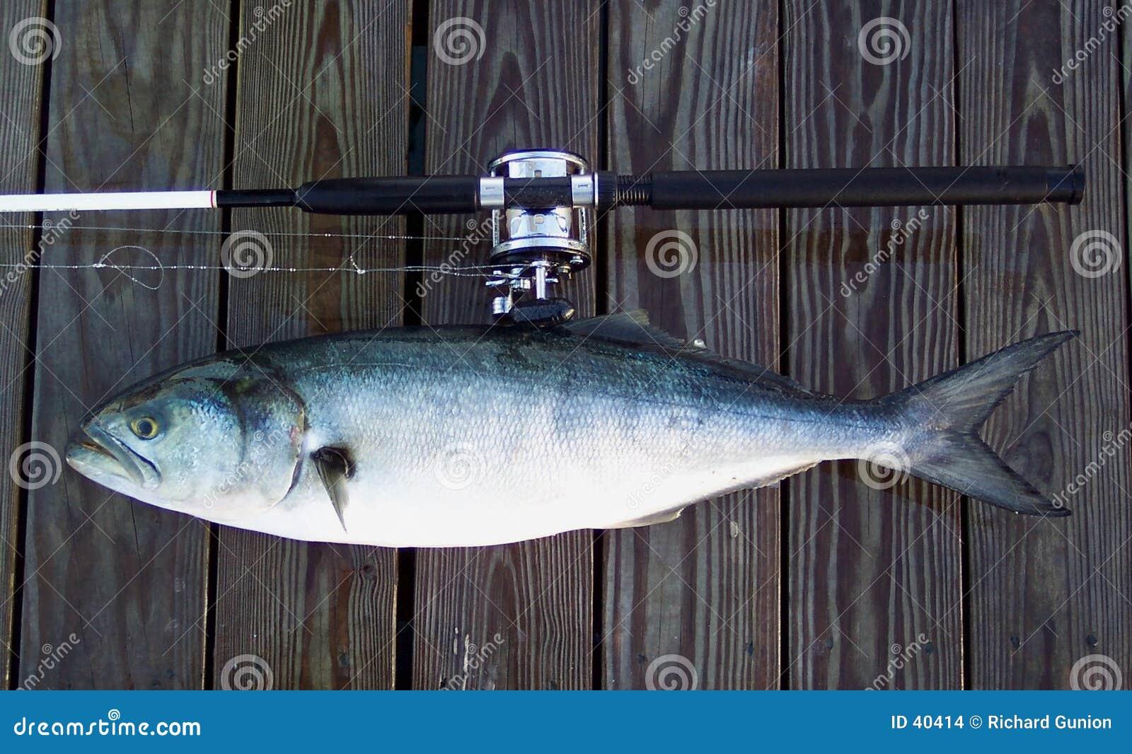 łodzi bluefish kij