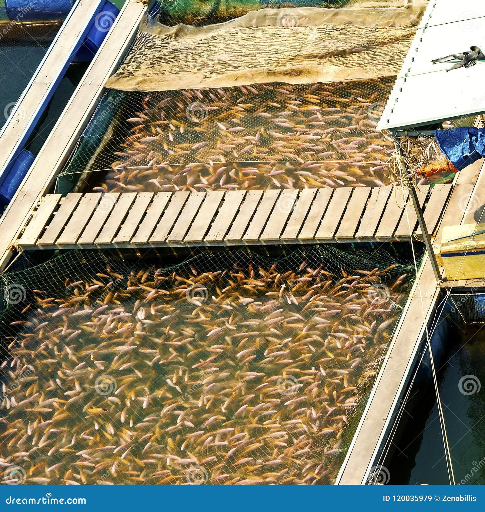 Łowi w sztucznym basenie na rybim gospodarstwie rolnym w Wietnam Rybołówstwo przemysł