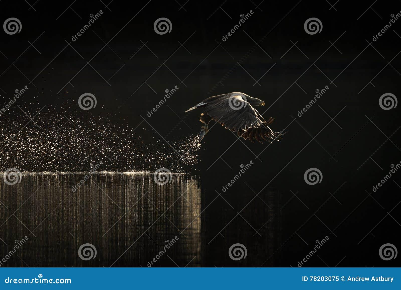 Łowiecki Denny Eagle