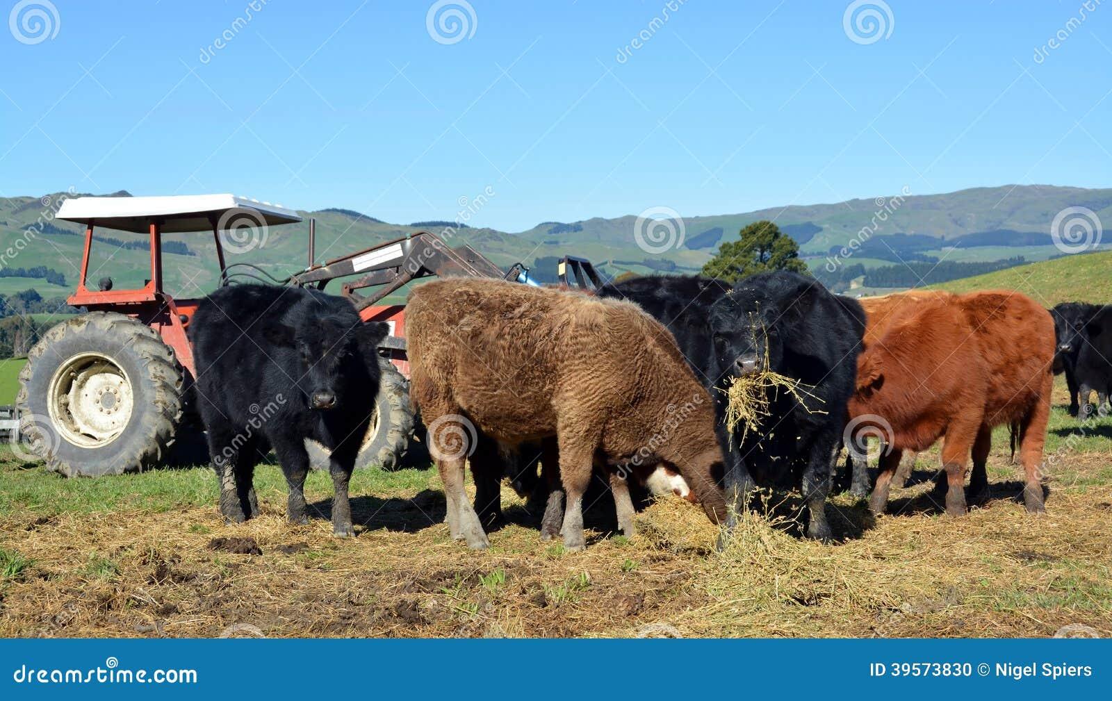 Łydki Je lucerny siano na Nowa Zelandia gospodarstwie rolnym