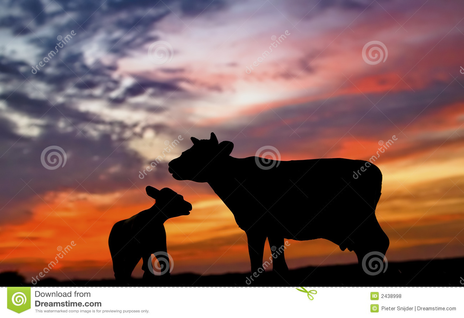 łydkowa sylwetka krowy