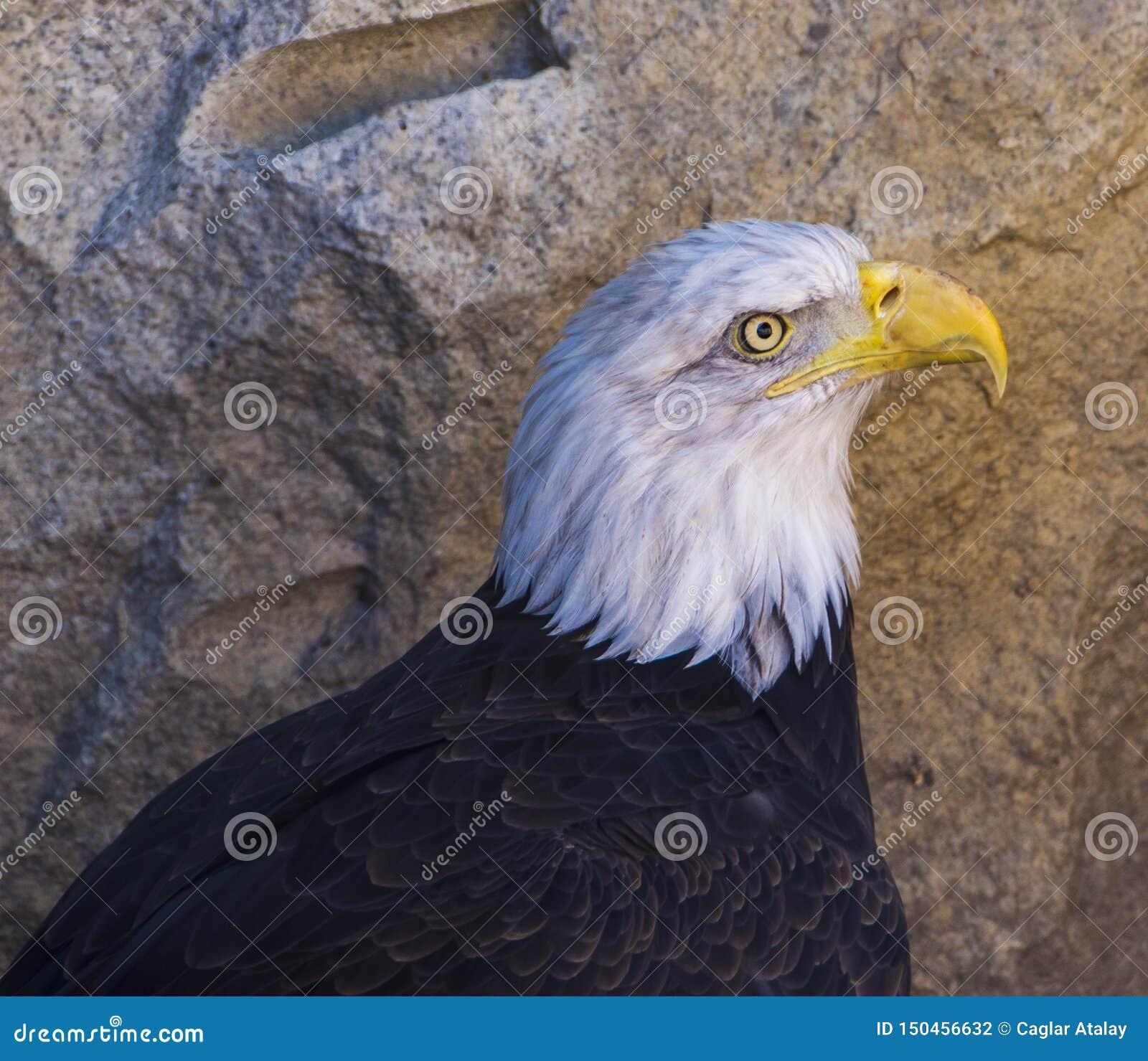 Łysego Eagle królewiątko niebo