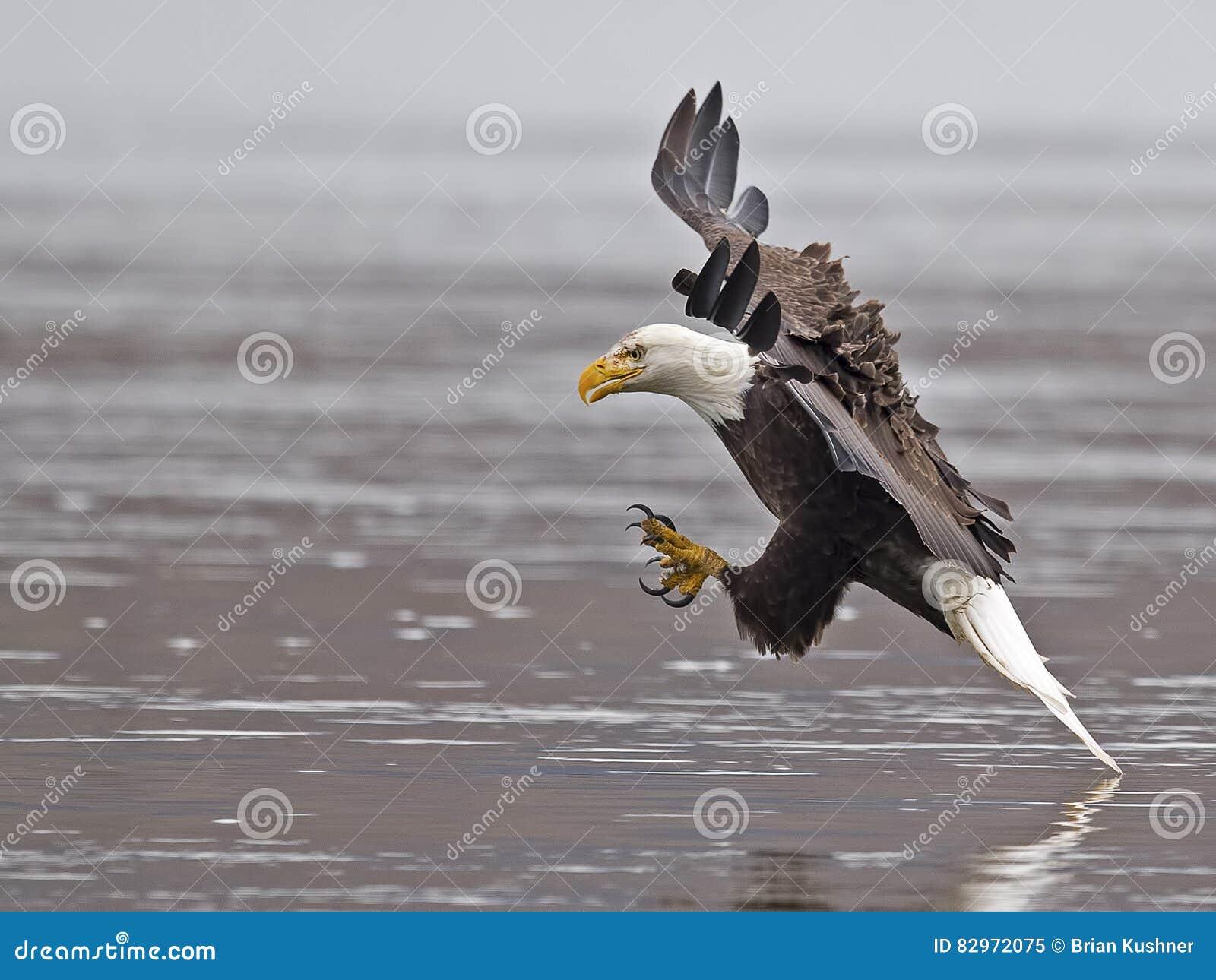 Łysego Eagle ryba chwyt