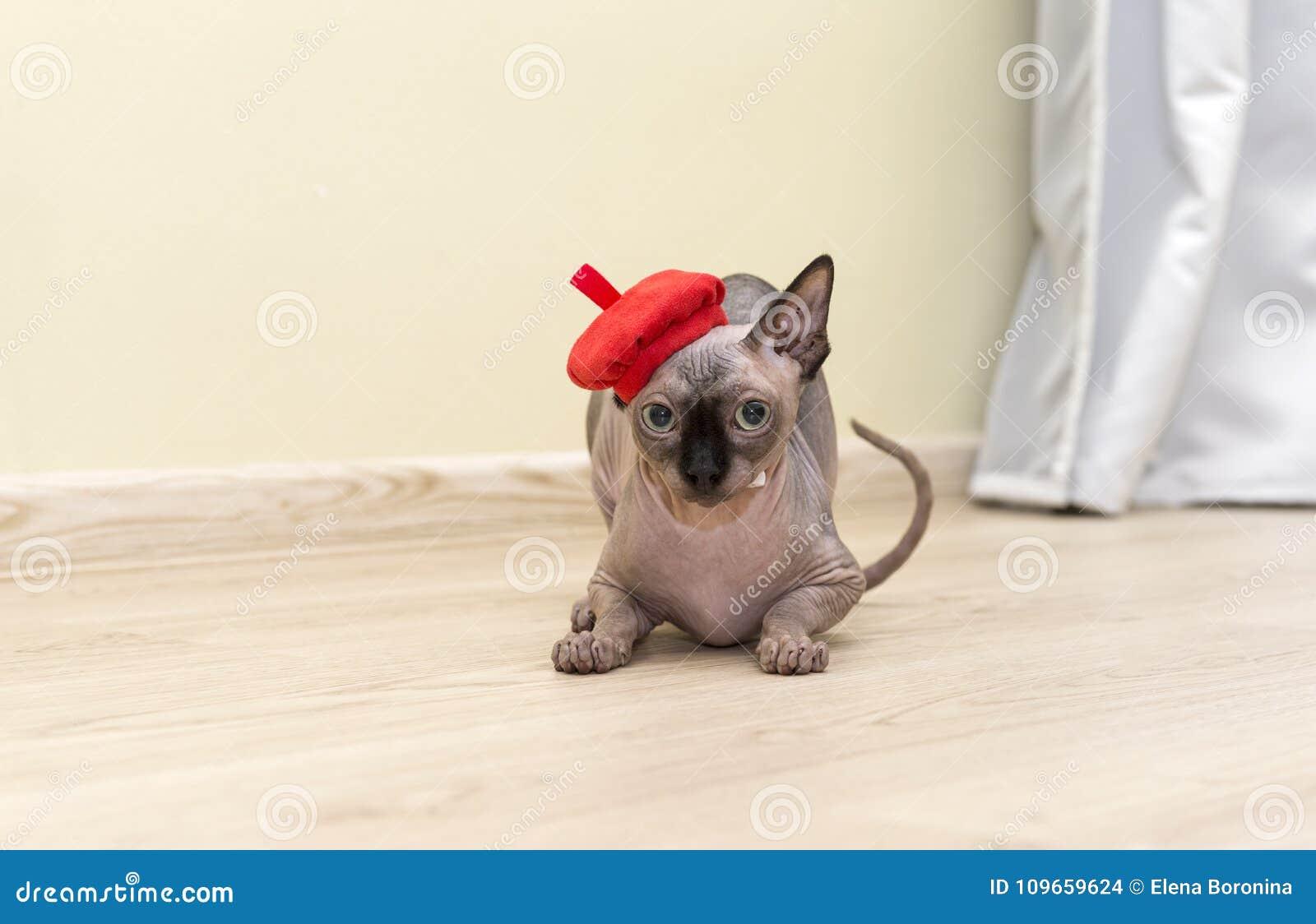 łysy Bezwłosy Kot Kot Traken Kanadyjski Sphynx Siedzi Dalej Zdjęcie