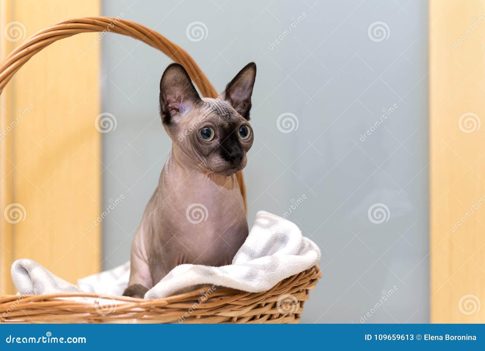łysy Bezwłosy Kot Kot Traken Kanadyjski Sphynx Siedzi Wewnątrz Obraz