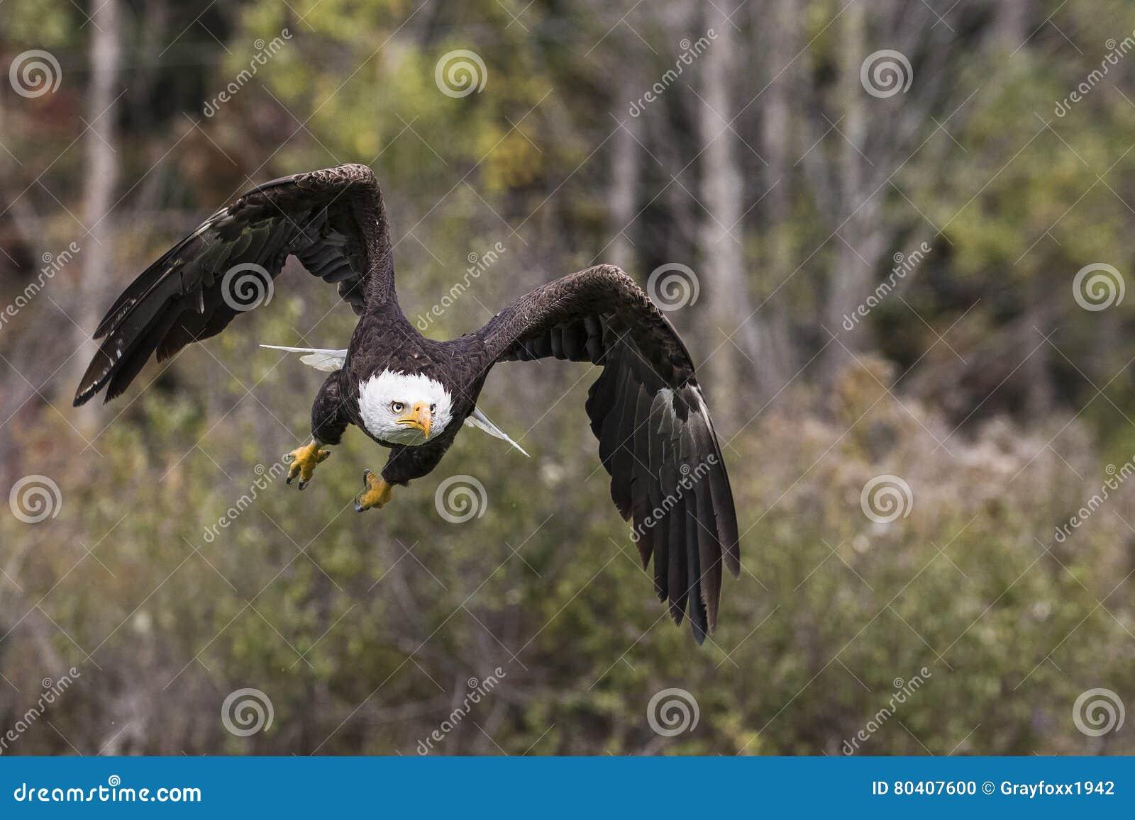Łysy Eagle CRC