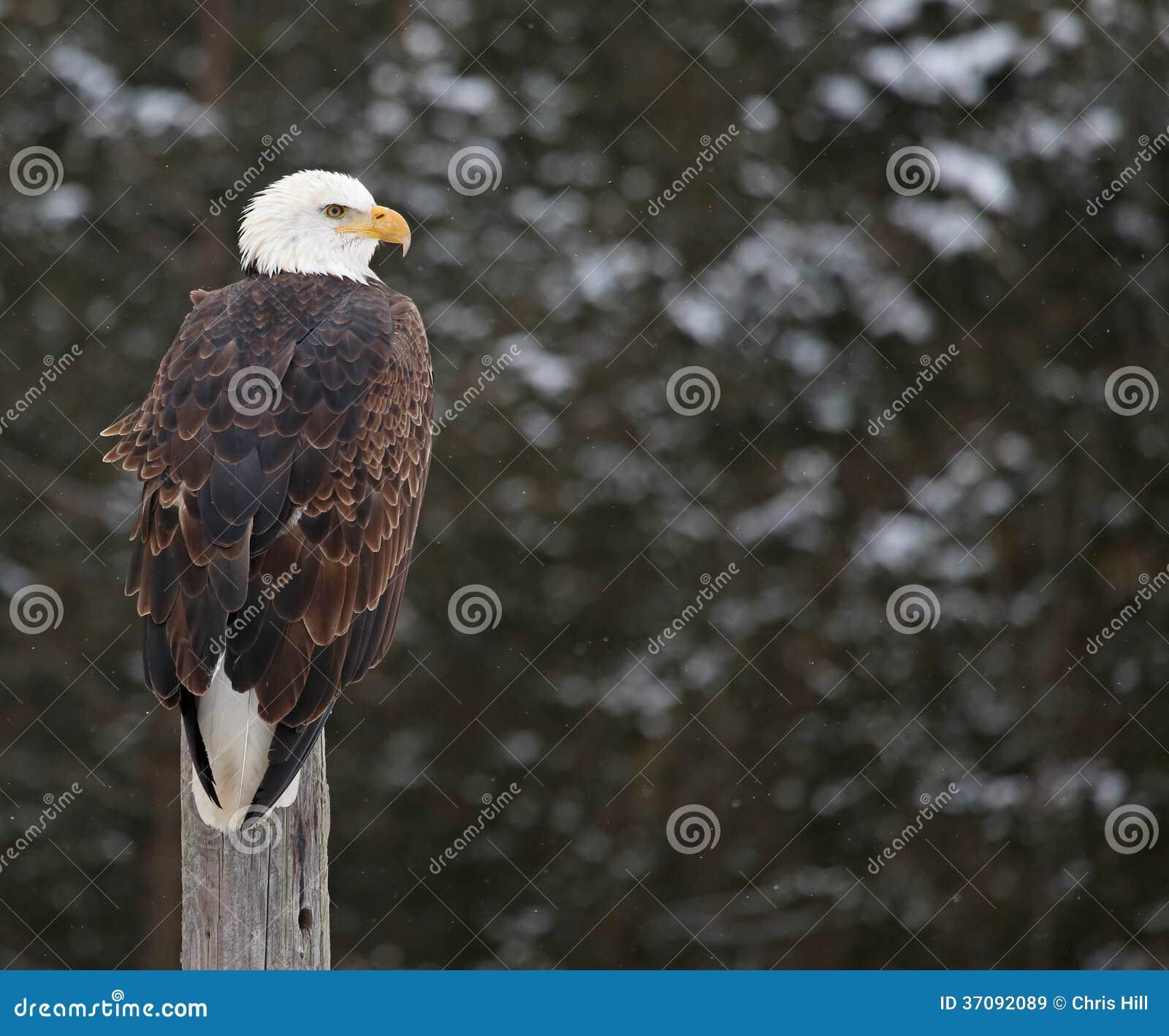 Download Łysy Eagle na strażniku obraz stock. Obraz złożonej z morze - 37092089