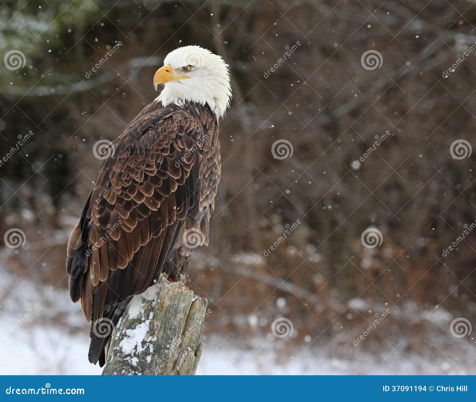 Download Łysy Eagle Przyglądający Z Powrotem Zdjęcie Stock - Obraz złożonej z morze, patrzeje: 37091194
