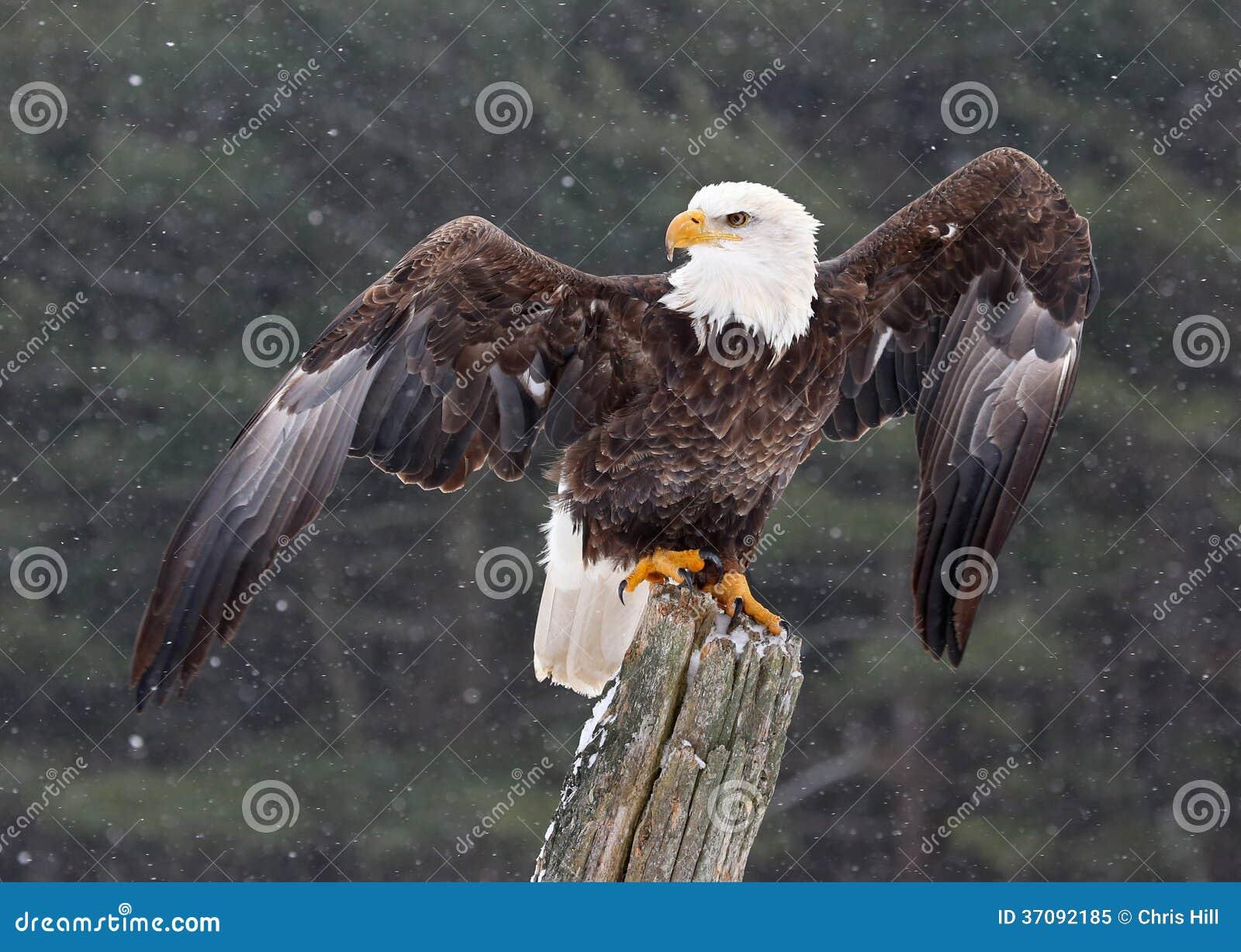 Download Łysy Eagle Z Skrzydłami Rozciągającymi Obraz Stock - Obraz złożonej z szpon, orzeł: 37092185