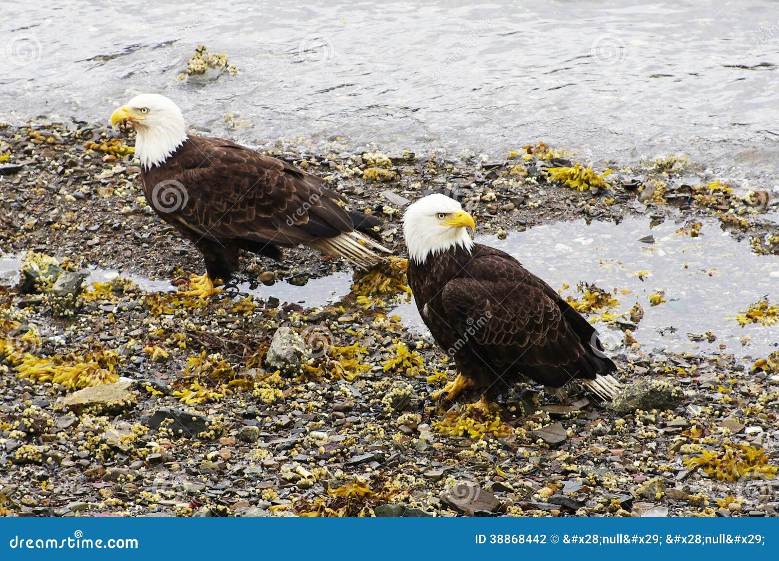Łysy Eagles