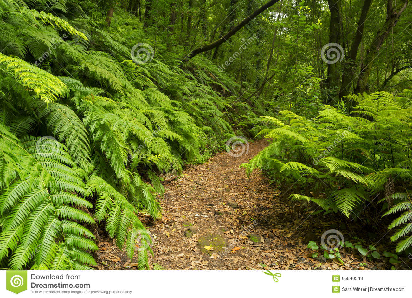Ścieżka przez tropikalnego lasu deszczowego Los Tilos na losie angeles Palma