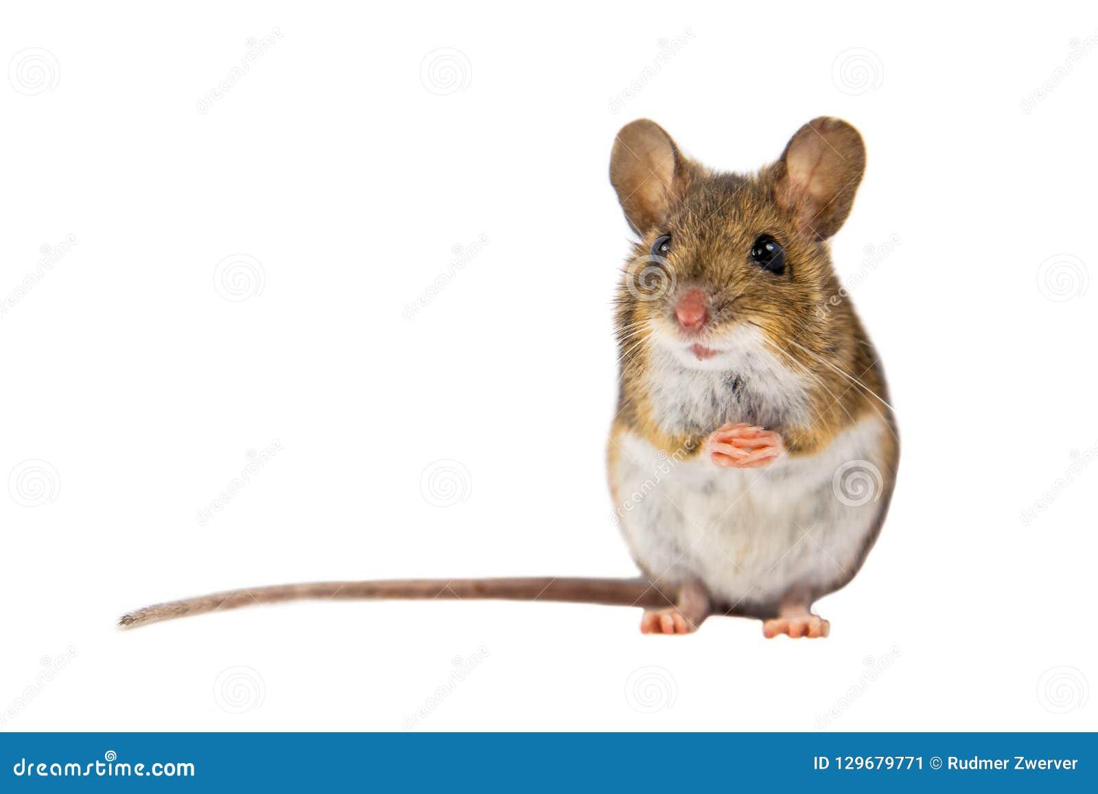 Śliczna Śródpolna mysz na białym tle