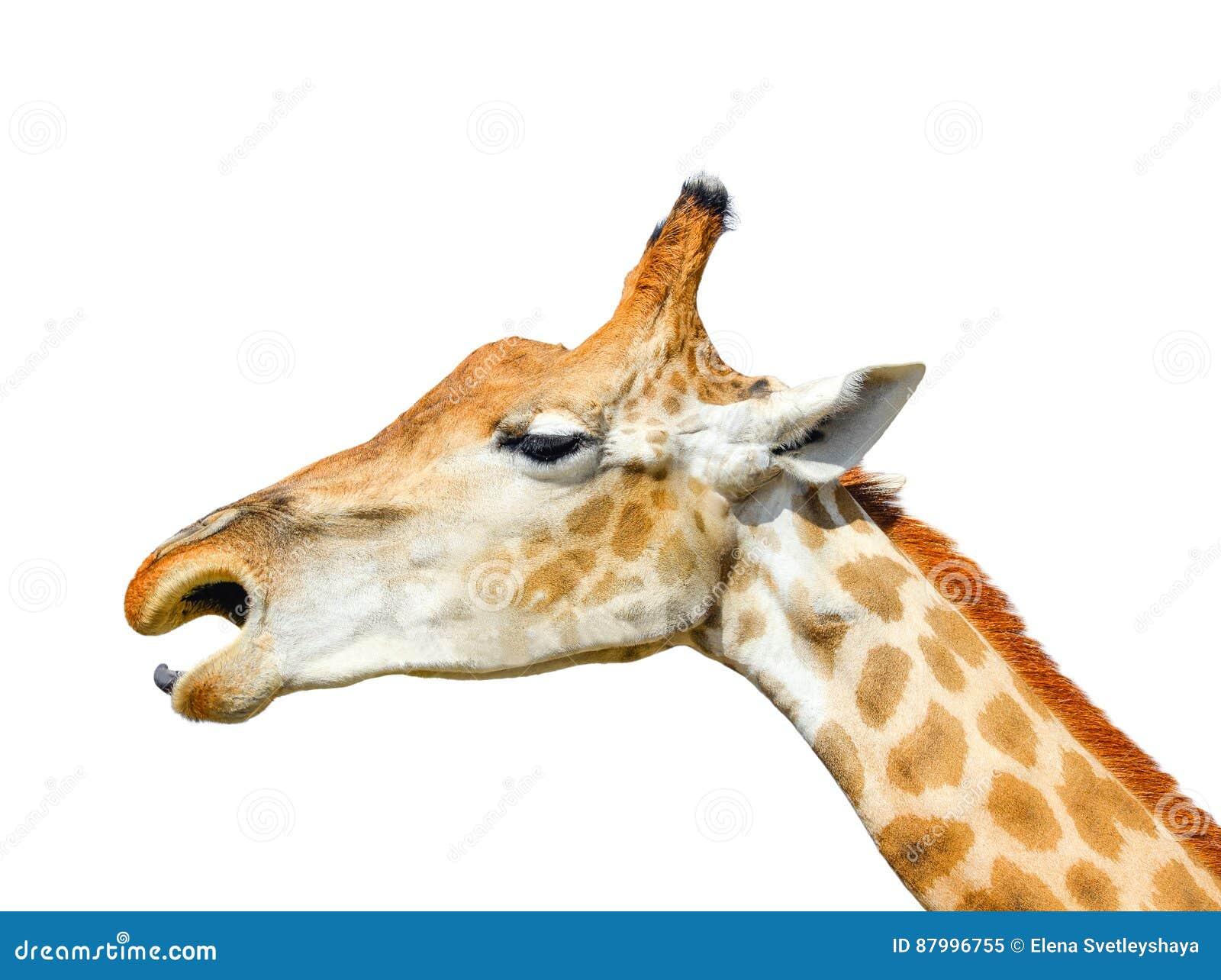 Śliczna żyrafy głowa odizolowywająca na białym tle Śmieszna żyrafy głowa odizolowywająca