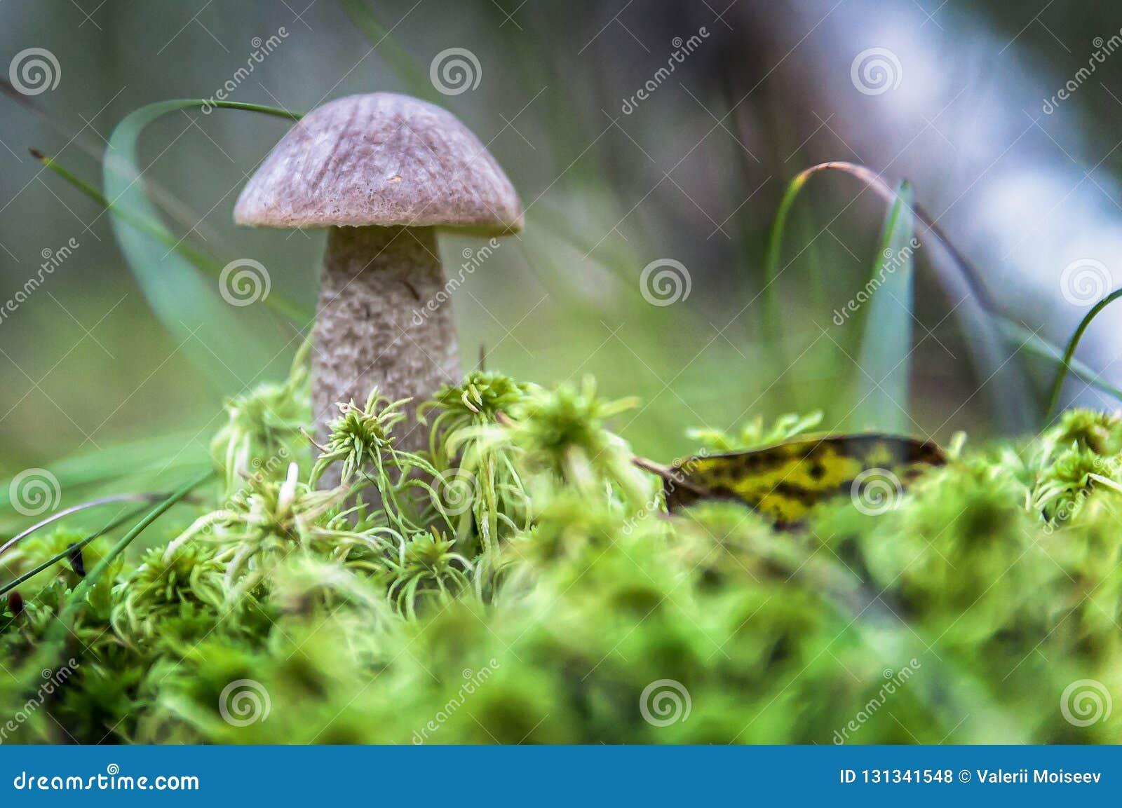 Śliczna cent babeczki pieczarka r w trawie Piękna mała brown nakrętka cep jest w ostrości